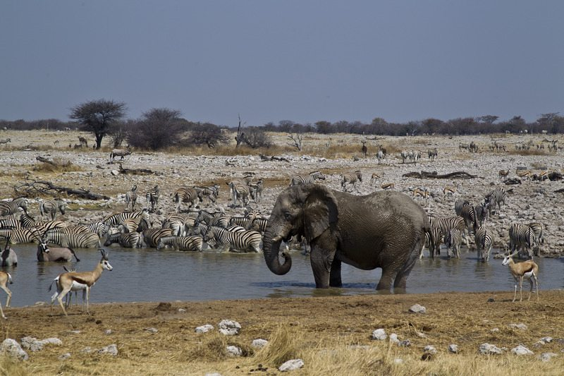 Desert Adapted Wildlife Etosha National Park - Northern Namibia – Self-Drive, Bespoke and Fly-in Safaris, Guided Explorations & Privately Guided Safaris