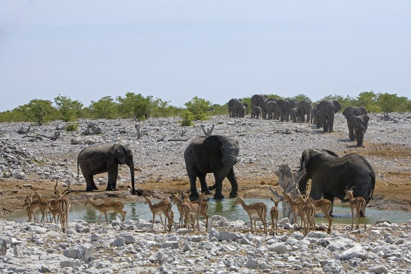 Desert Adapted Wildlife Etosha National Park - Northern Namibia – Self-Drive, Bespoke & Fly-in Safaris, Guided Explorations & Privately Guided Safaris