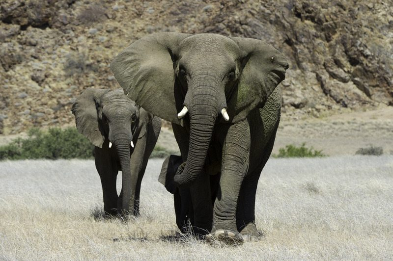 Rare Desert Adapted Elephants - Damaraland Namibia – Self-Drive, Bespoke & Fly-in Safaris, Guided Explorations & Privately Guided Safaris