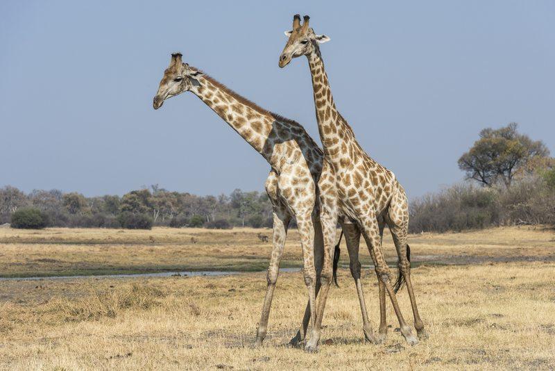 Giraffes – Savuti Botswana - Self Drive, Bestoke & Fly-in Safaris, Guided Explorations & Privately Guided Safaris