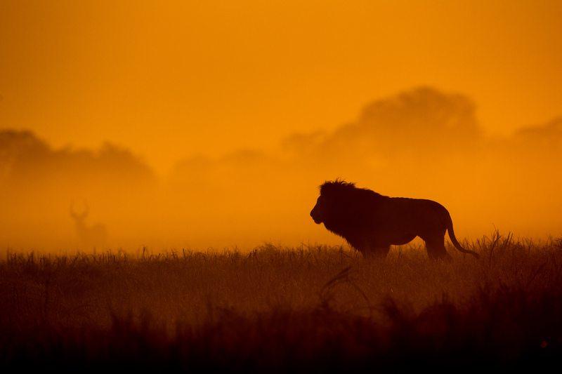 Busanga lion at sunset - Zambia - Sasiani African Safaris