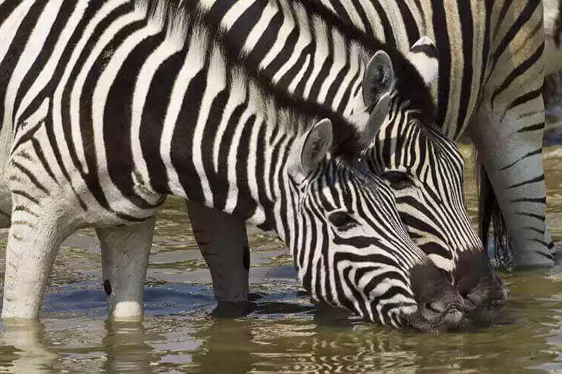 Zebra drinking at Anderssons Camp Namibia