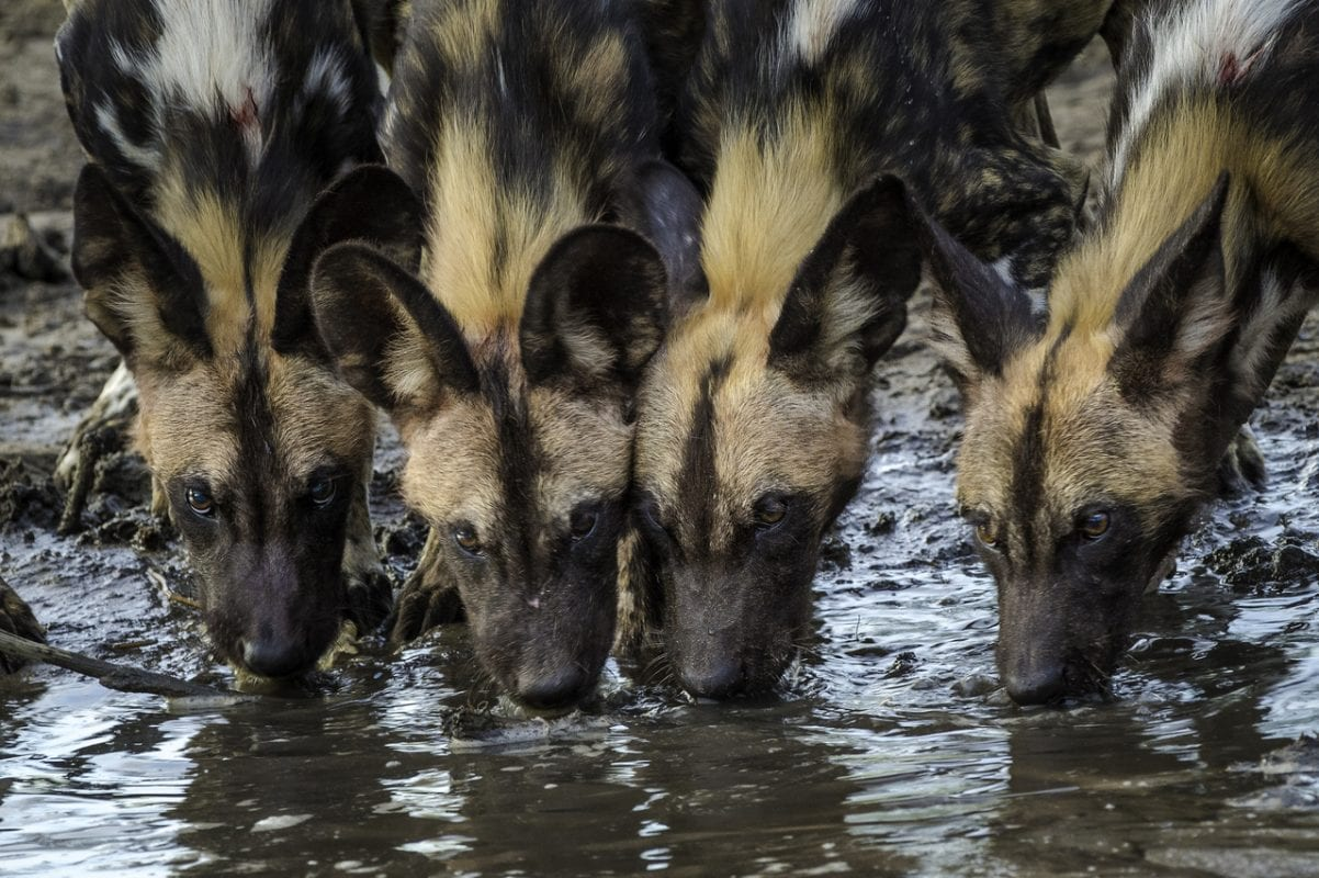 African wild dogs Botswana – Sasiani Mobile Tented Safaris, Privately Guided Safaris, Photographic Safaris & Workshops, Bush Survival Courses, Boating Safaris, Tailor-Made Safaris, Guided Explorations, Self-Drive Safaris