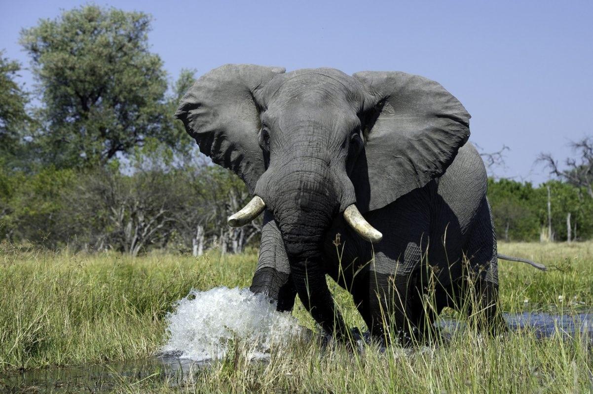 Bull elephant - Okavango Delta Botswana