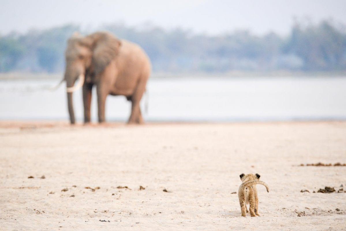 Zimbabwe Elephant & Lion Cub