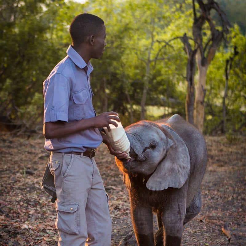 Feeding baby elephant at the Abu Camp Botswana