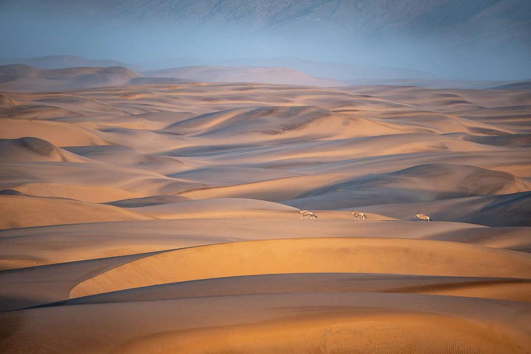 Oryx walking across the Namib Desert