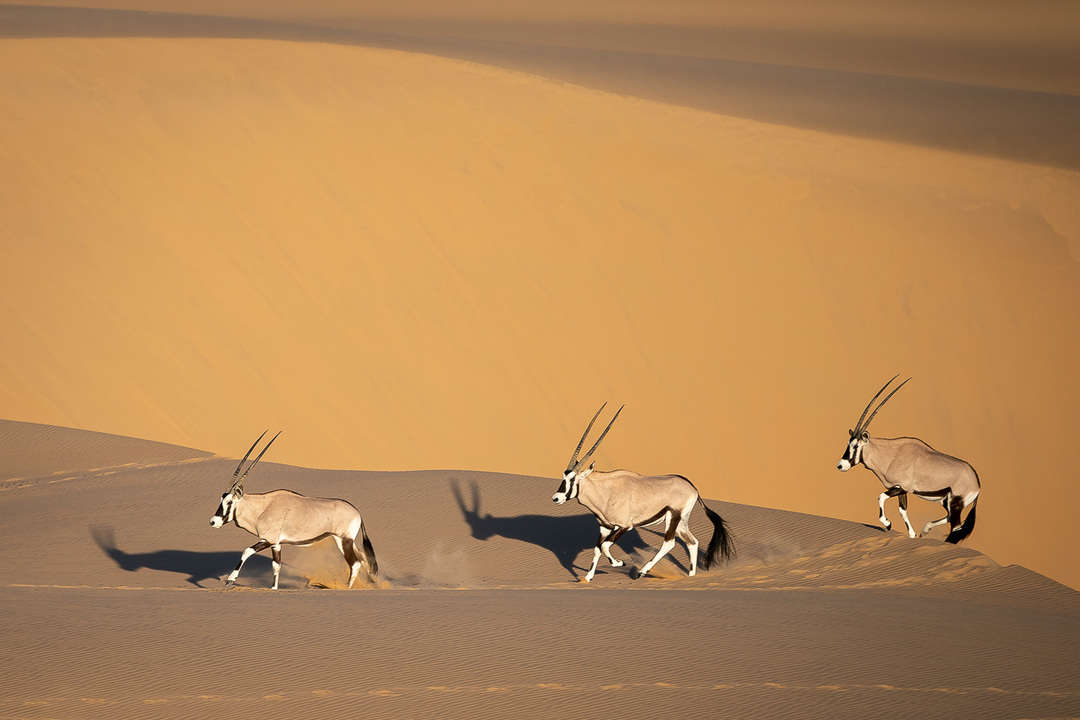 Oryx crossing the Namib Desert Namibia