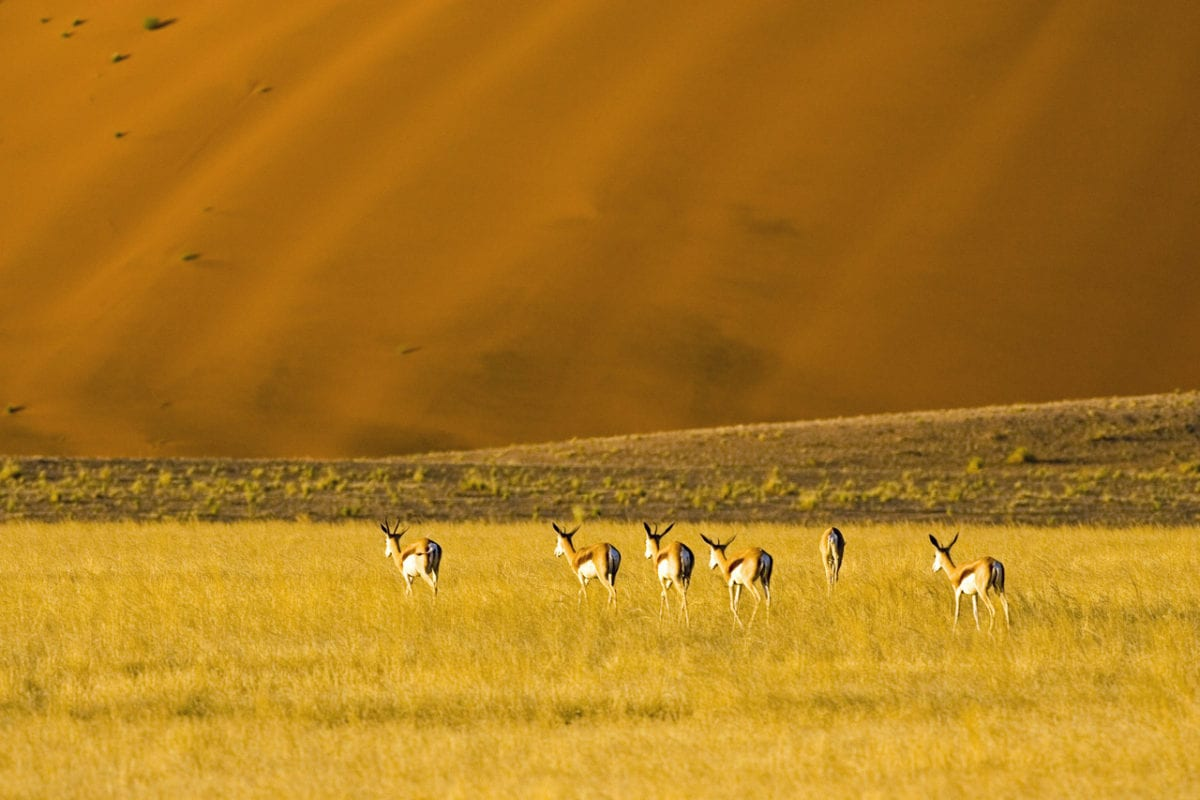 Antelope at the foot of an ochre dune Namibia