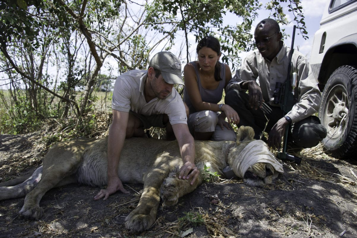 Lion collaring - Interactive Conservation Tourism - Namibia