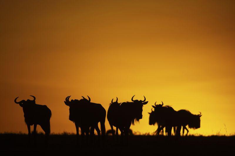 African Safari - Mara Wildebeest Great Plains Conservation African Safaris