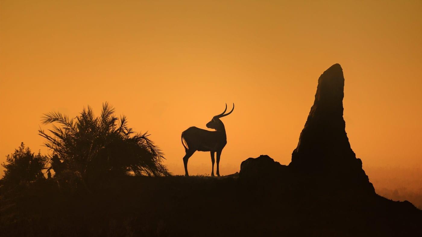 tsessebe Duba Plains Camp Botswana - Sasiani African Safaris
