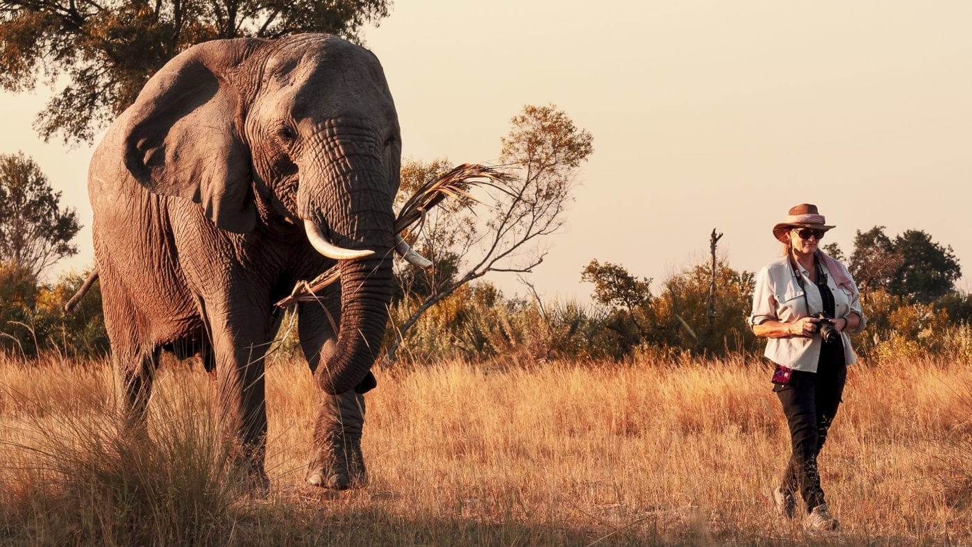 Walking with an Abu elephant - Sasiani African Safaris