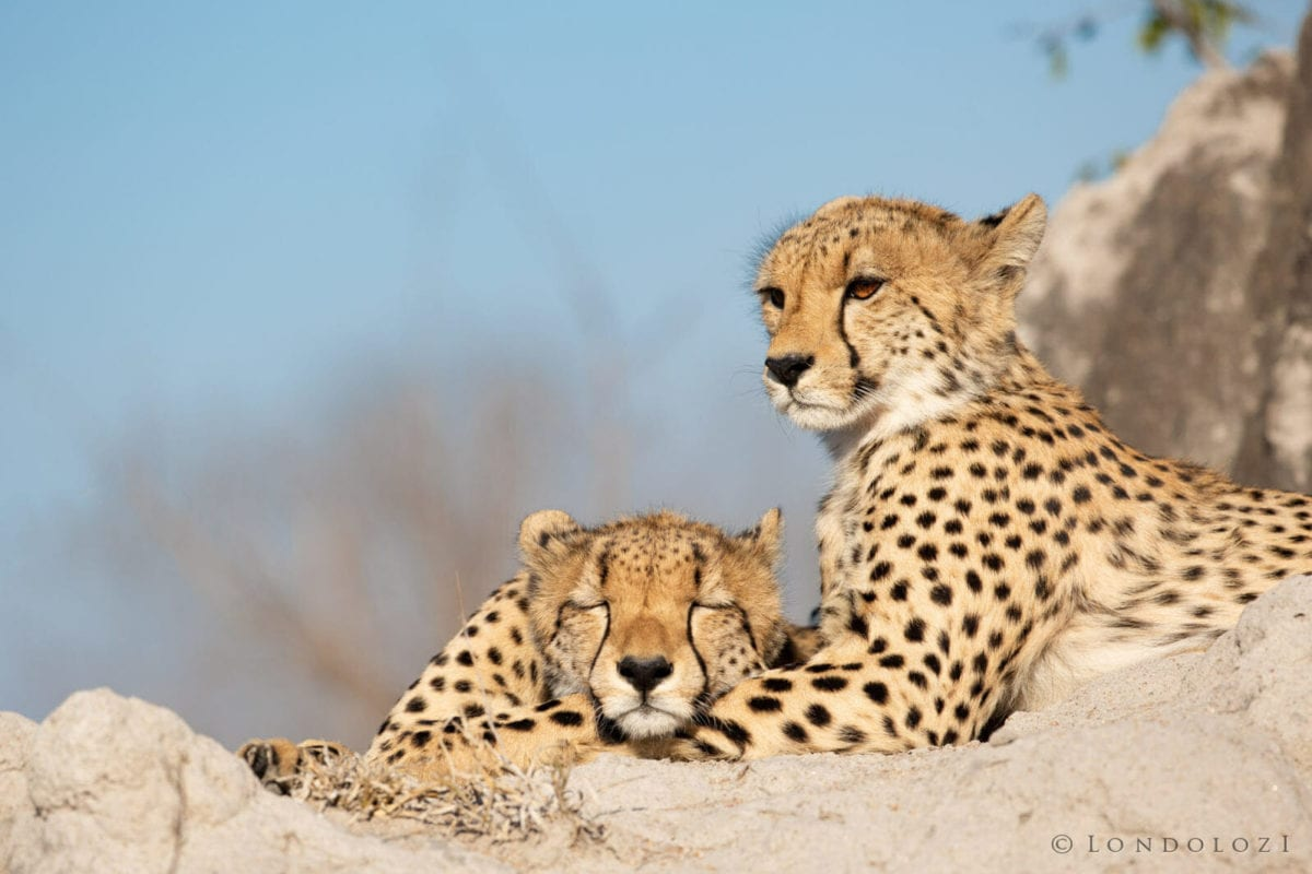 Kruger National Park - Cheetahs resting in the sun