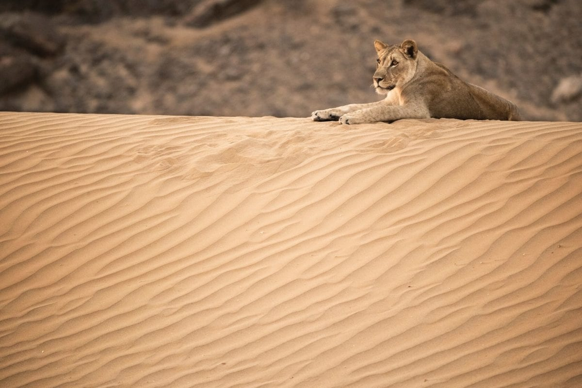 Lioness relaxing on a sand dune - Lion Research Project Namibia