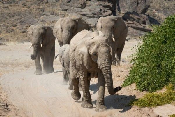 Rare Desert Elephants Hoanib Camp - Namibia