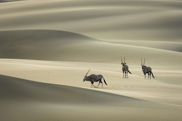 Oryx in the Namiba dunes - Namibia