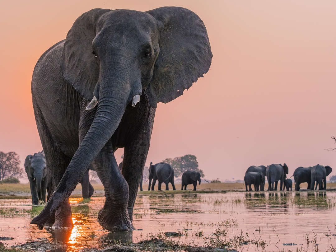 Elephant herd drinking with pink sky backdrop