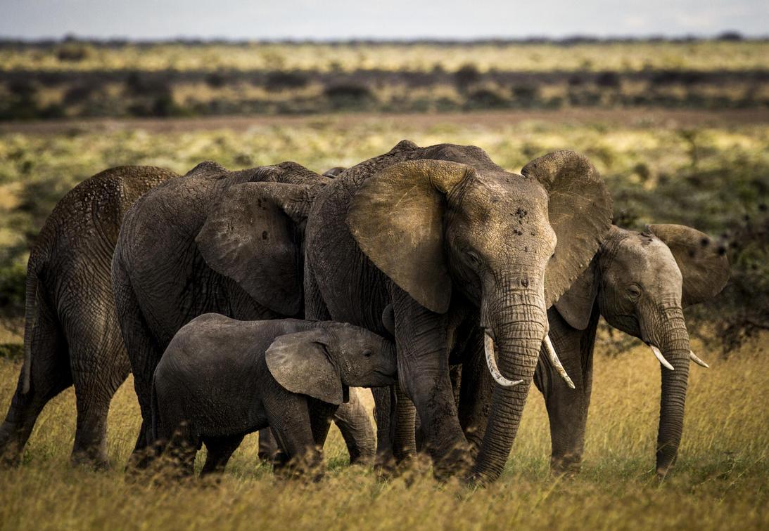 East African Elephant Herd