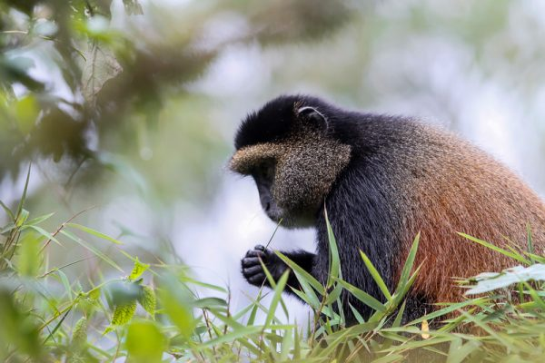 Rwanda Golden Monkey