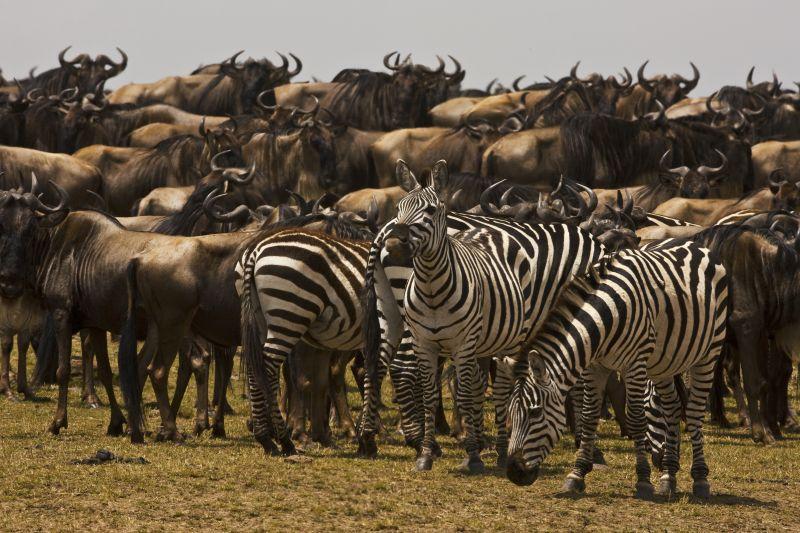 Wildebeest and zebra in Mara Kenya