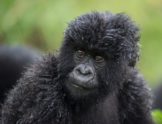 young moutain gorilla